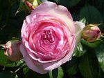 200px-rosa_eden_rose_j11