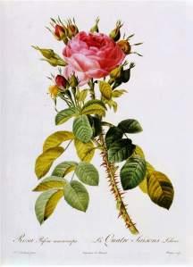 Pierre-Joseph_Redouté_-_Rosa_Bifera_Macrocarpa_-_WGA19030