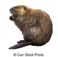 north-american-beaver-isolated-on-white-stock-photos_csp47056234