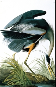Great Blue Heron, by John James Audubon