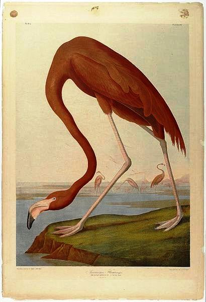 American Flamingo, by John J. Audubon, Brooklyn Museum