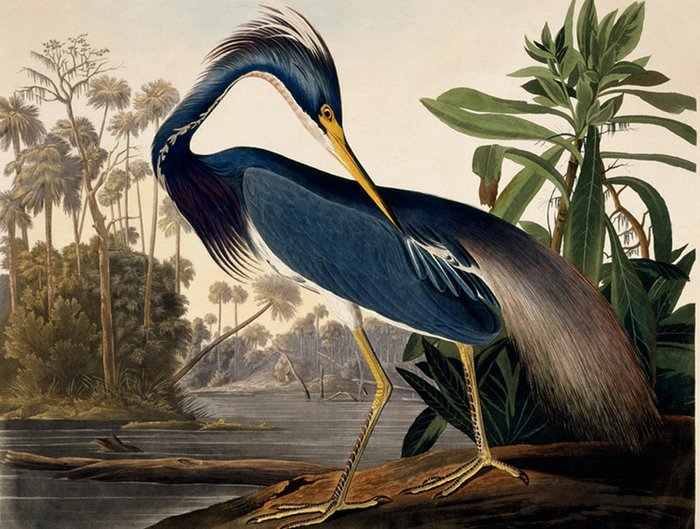 Blue Heron, by John James Audubon