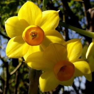 jonquil-flower-12