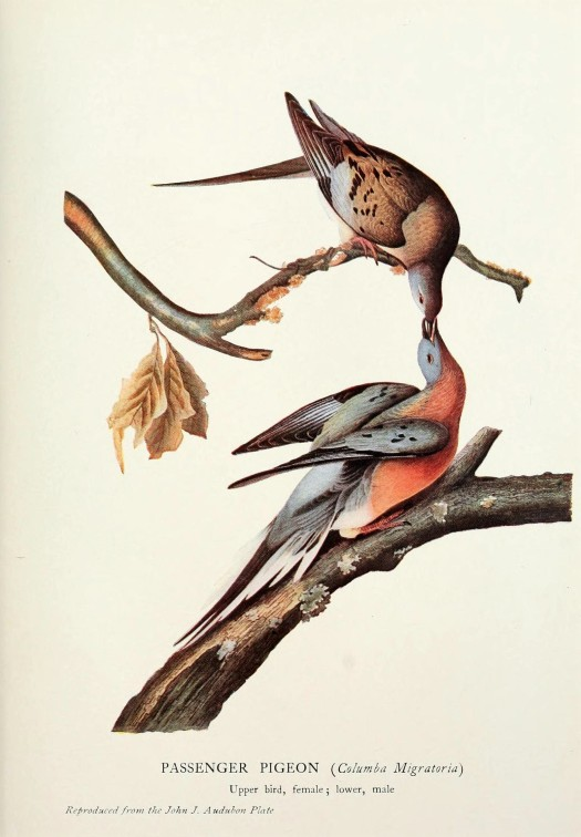 the_passenger_pigeon